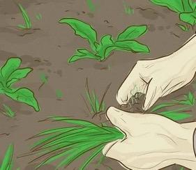 زراعة-الذرة-٩