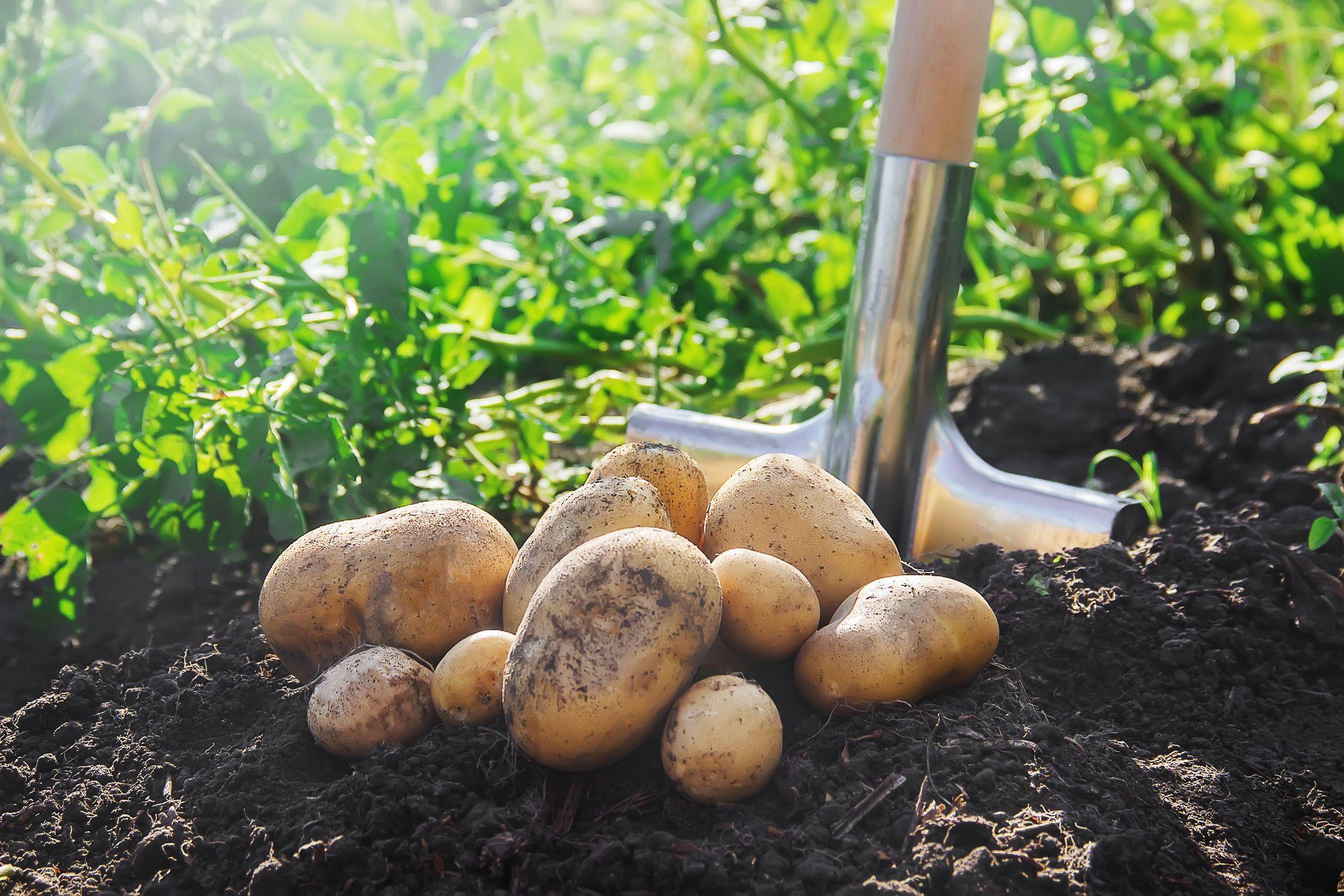 كيفية زراعة البطاطا من الثمار الموجودة لديك في المنزل