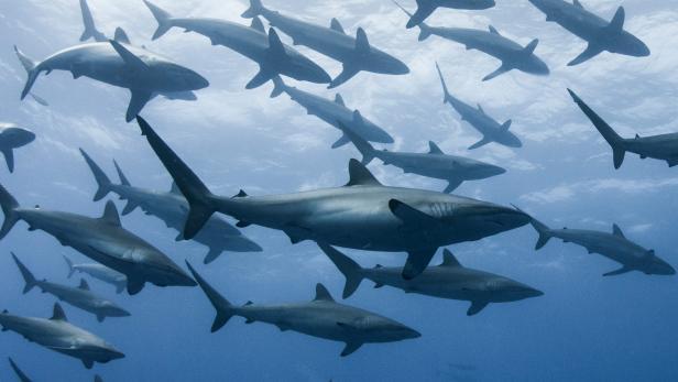 هذا هو نظام GPS الذي تستخدمه أسماك القرش ل التنقل في البحار