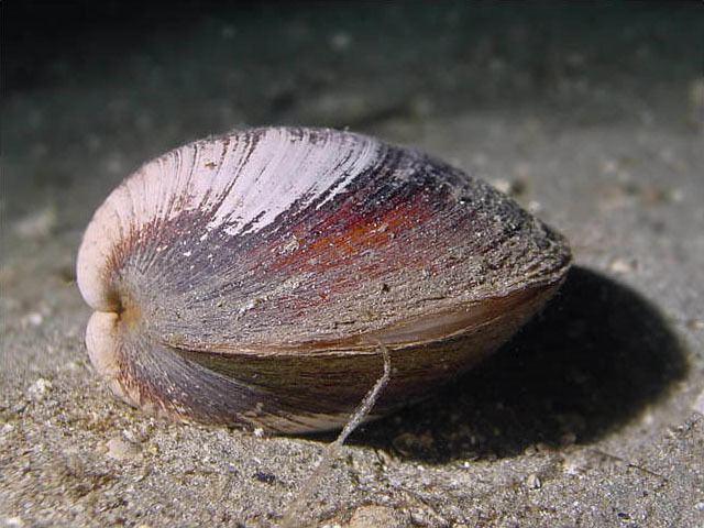 ماهي أطول الحيوانات عمراً على سطح الأرض Balaena mysticetus  Sebastes aleutianus
